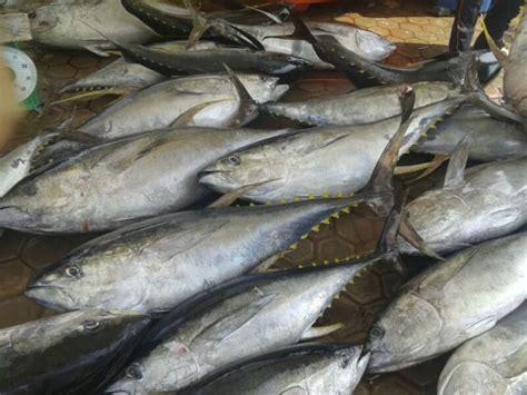 ampuh penanganan hasil perikanan ikan tuna  atas
