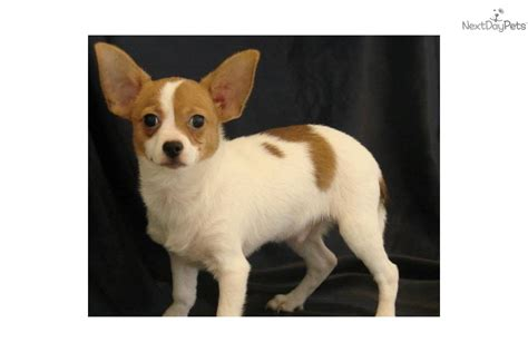 chion pomeranian for sale chihuahua papillon mix puppies breeds picture