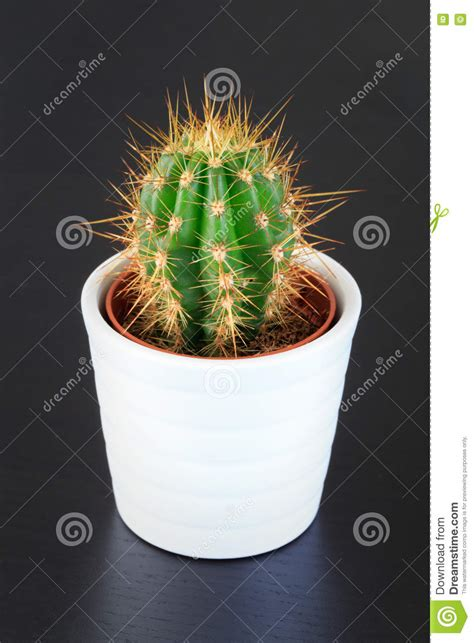 small potted cactus plants stock photo image 68600366 small cactus plant stock photo image 72445513
