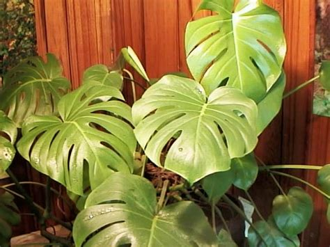 Indoor Plants That Don T Need Sun split leaf philodendron care willowbatel s blog