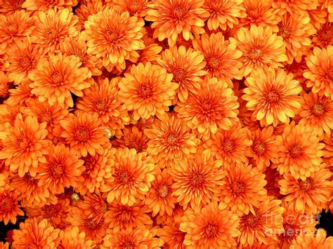 orange mums photograph by christine stack