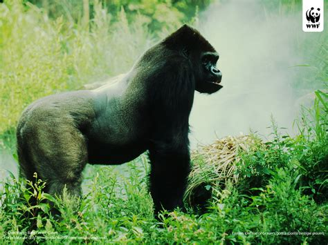 mountain gorilla wwf