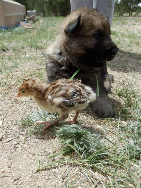 german shepherd puppies colorado springs view ad german shepherd puppy for sale colorado colorado springs