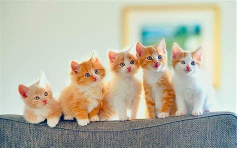 high resolution wallpaper of cat hd wallpaper baby cat pics images high quality resolution