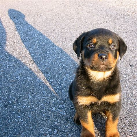 rottweiler puppies images puppy images and review