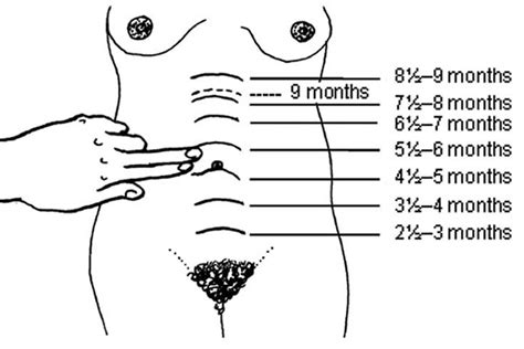 uterus during pregnancy diagram diagram of uterus growth during pregnancy image