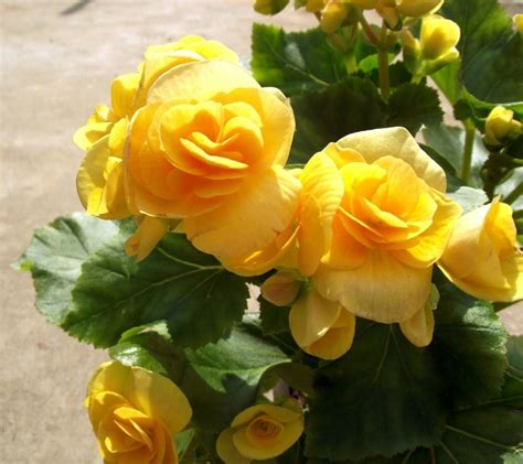growing begonias the showy houseplant with amazing