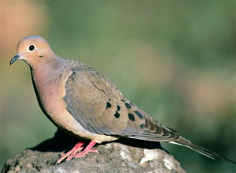 bird sounds and songs of the mourning dove the old