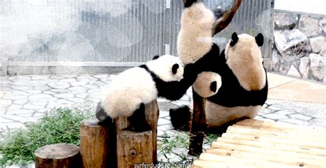 Baby Panda Climbing Out Of Crib by Pandas Falling