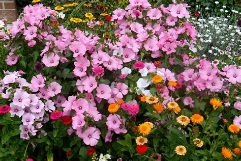 summer flower summer annual flowers