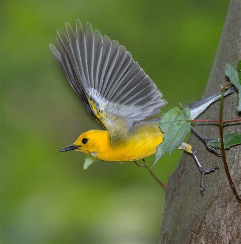 division of migratory birds northeast region u s fish