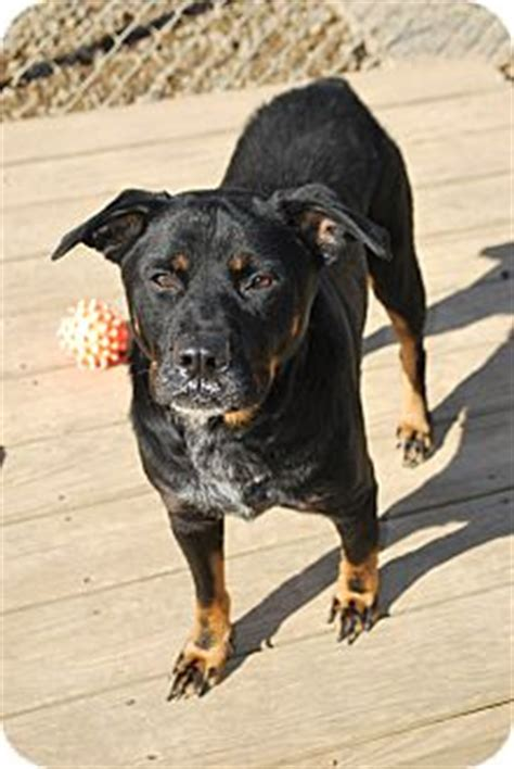 rottweiler heeler mix berea oh rottweiler blue heeler mix meet timmy a for adoption