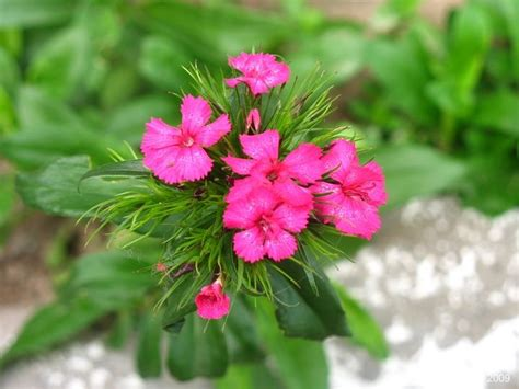 small pink flowers plant nature photos foliage and