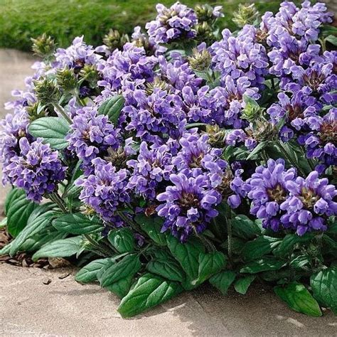 perennial ground cover ground cover seeds and perennials