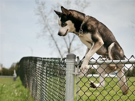 how to keep dog from jumping fence how to keep your dog from jumping the fence pet care facts