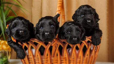 black russian terrier price temperament life span