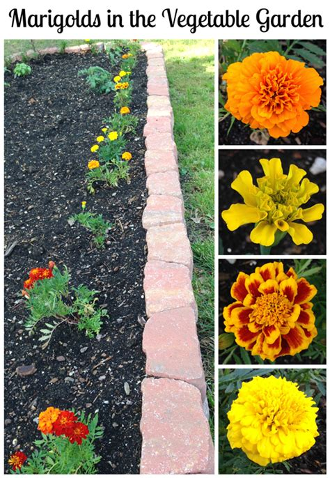 plant marigolds in the vegetable garden
