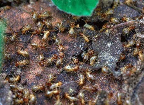 rid  termites  ultimate guide