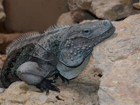 The Online Zoo - Grand Cayman Iguana