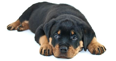 best food for rottweilers puppies best food for rottweilers pros cons of the best options herepup