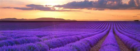 lavender fields  provence feel  planet