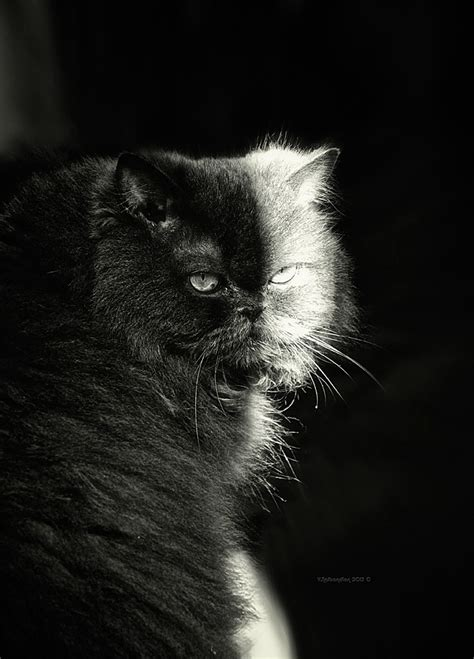 half half cat black and white animals photos