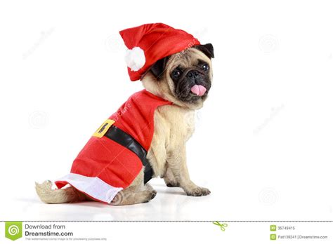 pug in santa costume pug puppy wearing a santa claus costume royalty free stock photo image 35749415