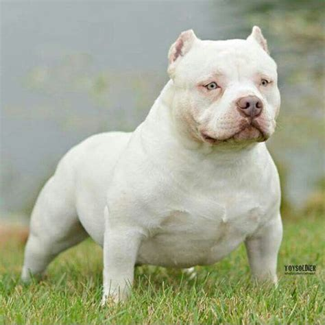 pocket bully 17 best images about american bully on american bullies puppys and pit bull