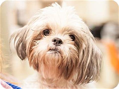 shih tzu puppies dfw shih tzu for adoption in dallas toodles