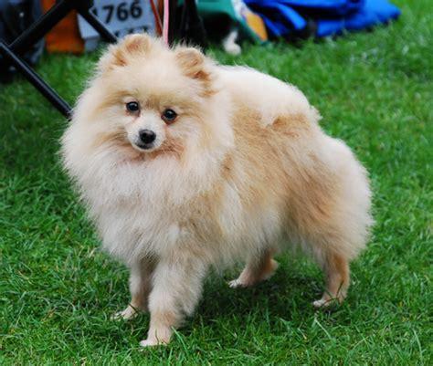 pomeranian wiki pomeranian psy domowe