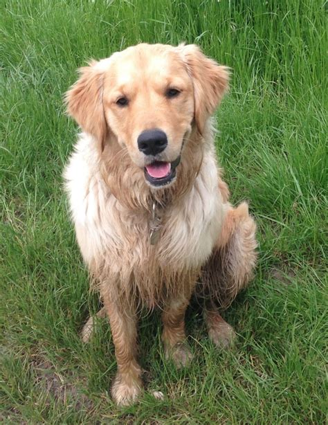 golden retriever needs home our much loved golden retriever needs a new home south east pets4homes