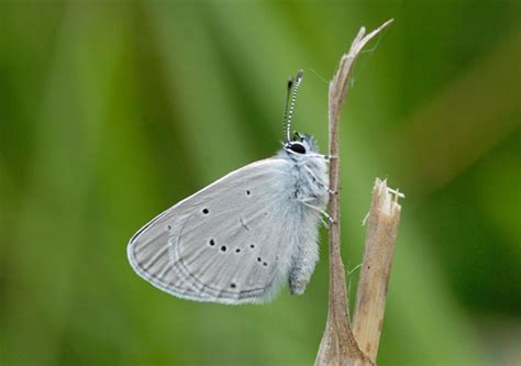 Small Blue butterfly conservation small blue