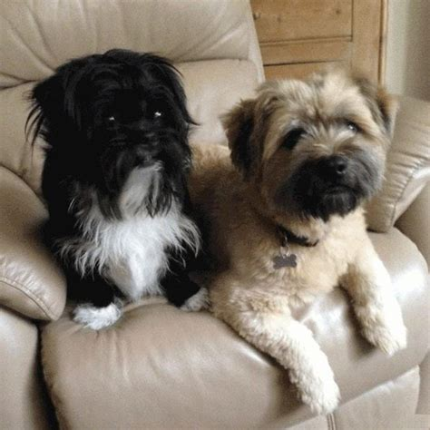 shih tzu epilepsy ozzie and barney 2 year pug cross shih tzus for adoption