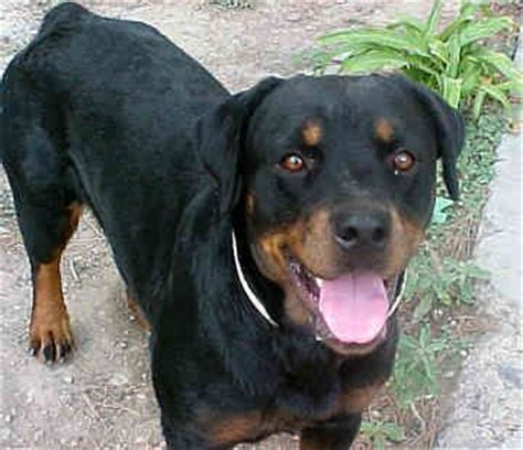 scary names for rottweilers rottweilers search and image search on