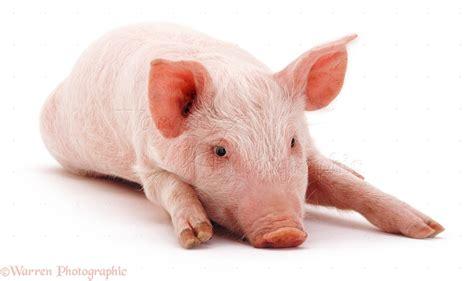 pig background piglet backgrounds wallpapersafari