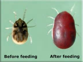 bed bug vs tick the difference between bed bugs and ticks ipm in the south