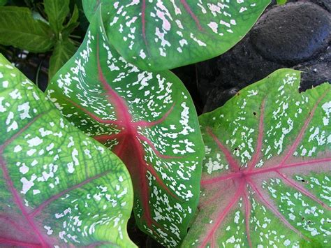 tropical plants pictures gardens of savaii