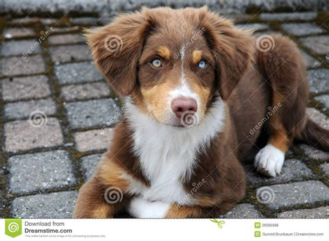 brown australian shepherd puppies 55 adorable australian shepherd images and pictures