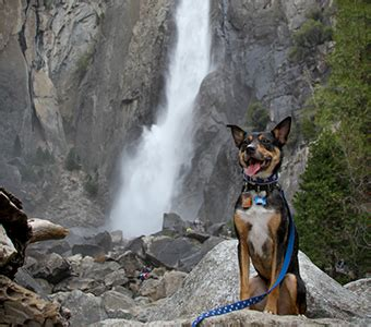 are dogs allowed in yosemite traveling to yosemite with your pets discover yosemite national park