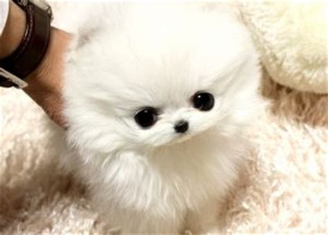 micro teacup pomeranian grown the puppy that i beg my husband for a micro minnie pomeranian grown they will