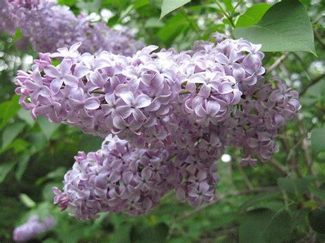 fiori di lilla fiore di lilla syringa vulgaris 10 semi 1 60eur