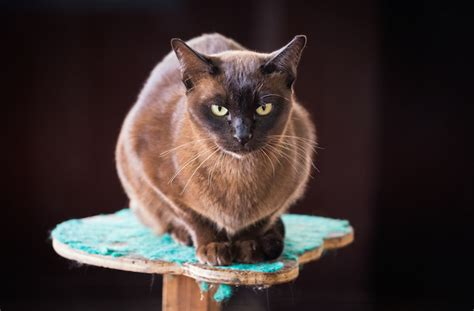 easy going breeds 9 easy going cat breeds pawculture