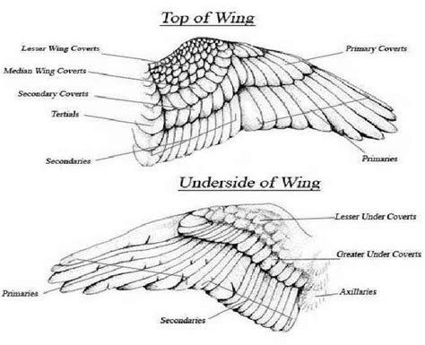 feather diagram more feather ideas tattoos feathers wings