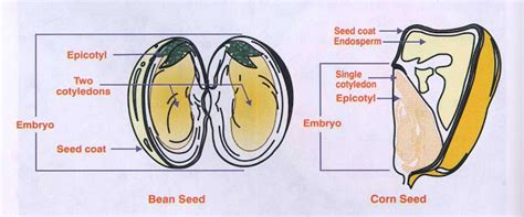 cross section of a seed biolabs plant roots and stems