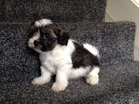 lhasa apso dogs beautiful lhasa apso puppies wakefield west