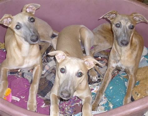 whippet puppies beautiful whippet puppies ipswich suffolk pets4homes
