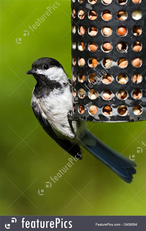 wildlife chickadee and bird feeder stock image i3458094