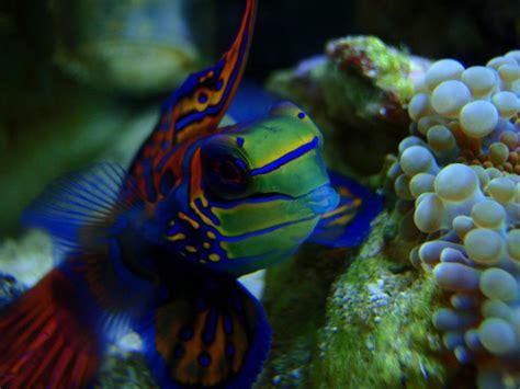 baby shark mandarin mandarinfish mandarin dragonet facts pet care diet