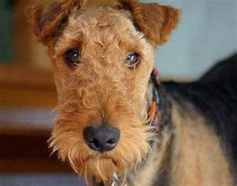 Puppies Born Blind Animals Unique Airedale Terrier Dog