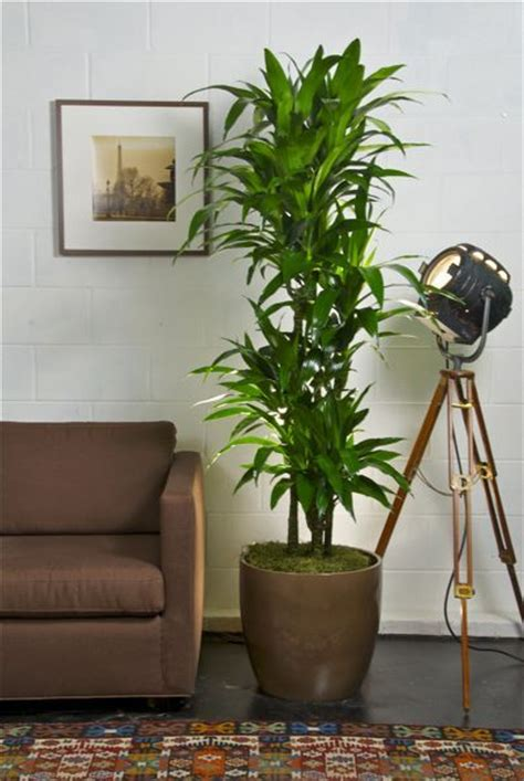 interior plant indoor plant hawaiian lisa cane library ideas
